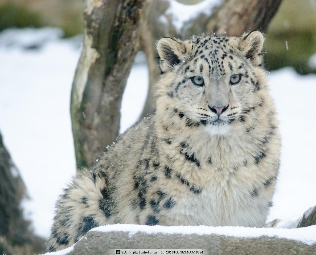 唯美 可爱 动物 野生 豹子 花豹 猛兽 摄影 生物世界 野生动物 300dpi
