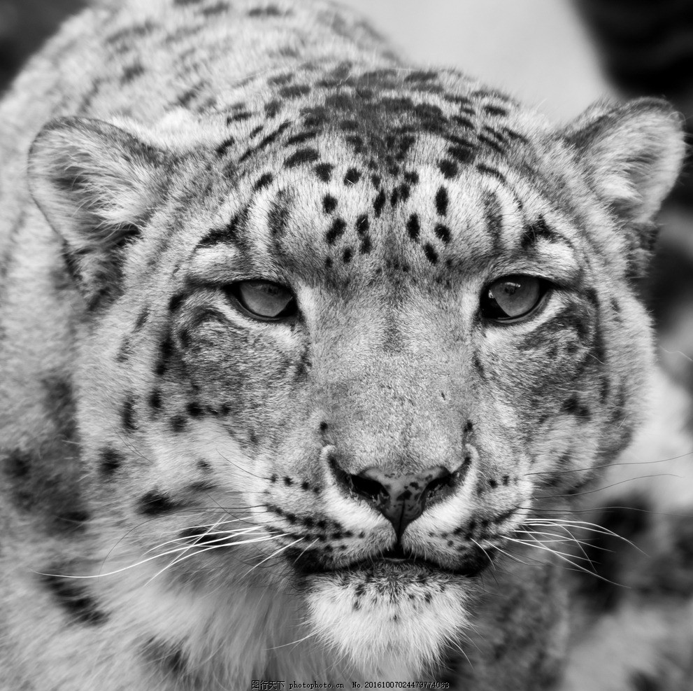 唯美 可爱 动物 野生 豹子 花豹 摄影 生物世界 野生动物 300dpi jpg