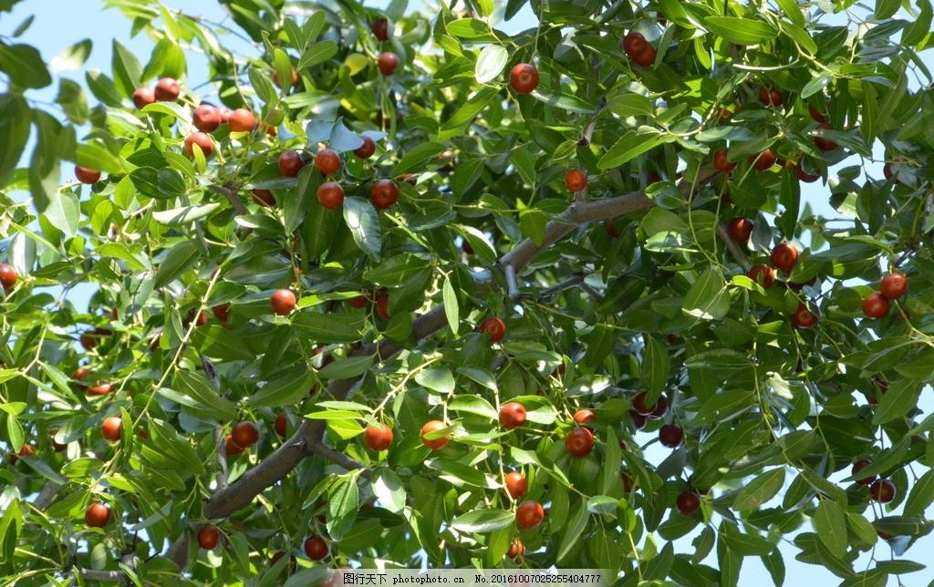 酸枣植物线稿图片