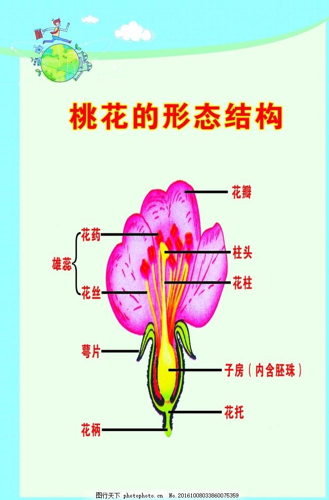 生物桃花的形态结构 初中 高中 挂画 共享图 图片素材