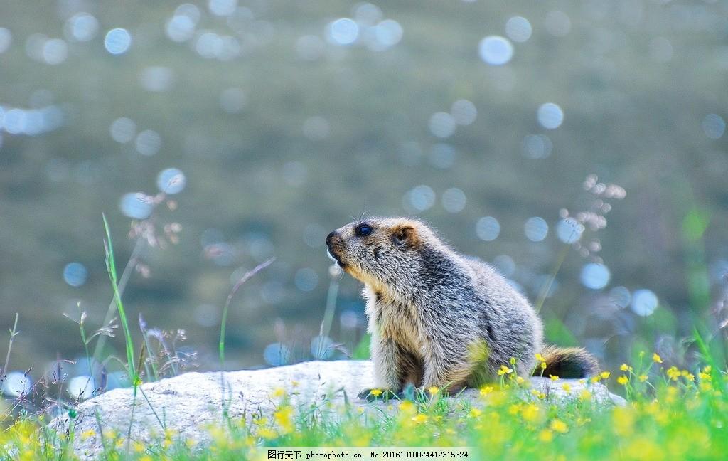 土拨鼠 旱獭 啮齿动物 啮齿目松鼠科 素食 牧草 呆萌 可爱 小胖子