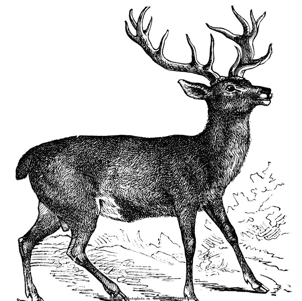 素描野鹿 鹿 梅花鹿 野生鹿 矢量图 野生动物 psd 设计 生物世界 三星