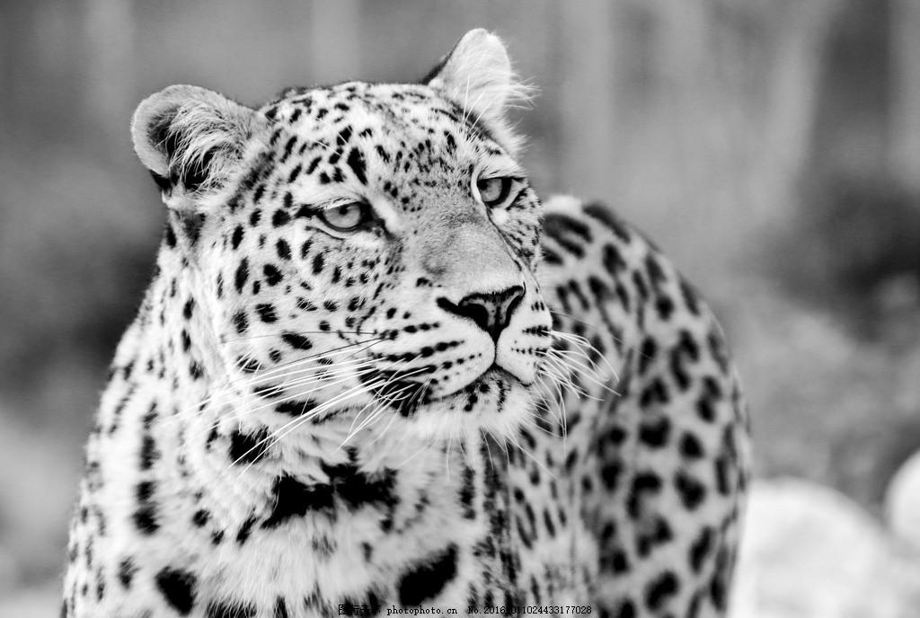 野生 猛兽 野兽 食肉动物 哺乳动物 豹纹 黑白 黑白风 动物 生物世界