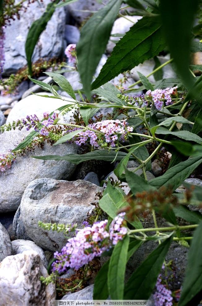 紫藤花 鮮花 花朵 花瓣 綠葉 花叢 風景 植物 花卉 花草 攝影 花卉