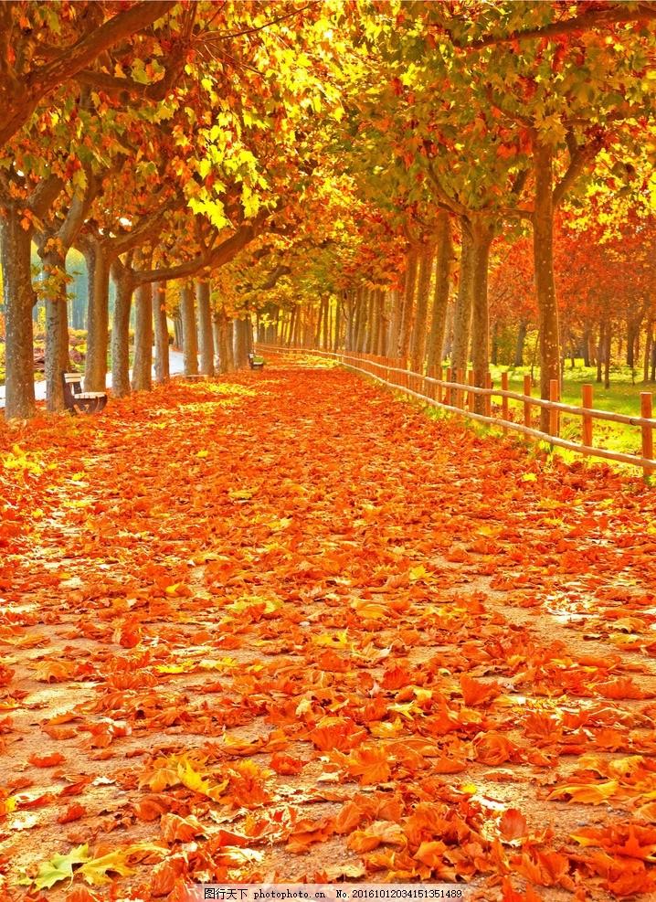 秋天背景 黄色背景 风景 秋天景色 秋天风景 秋天树林 秋天树叶 枫树