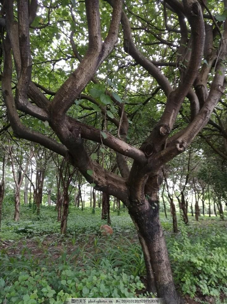 小树林 小树 树 古树 风景 古老 树干 植物 古树名木 园林绿化 花草