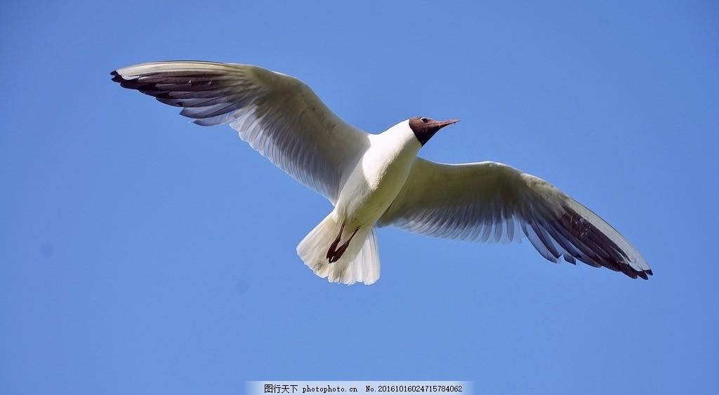 展翅飞翔的海鸥 展翅高飞 蓝天 高空 天空 素材之家 摄影