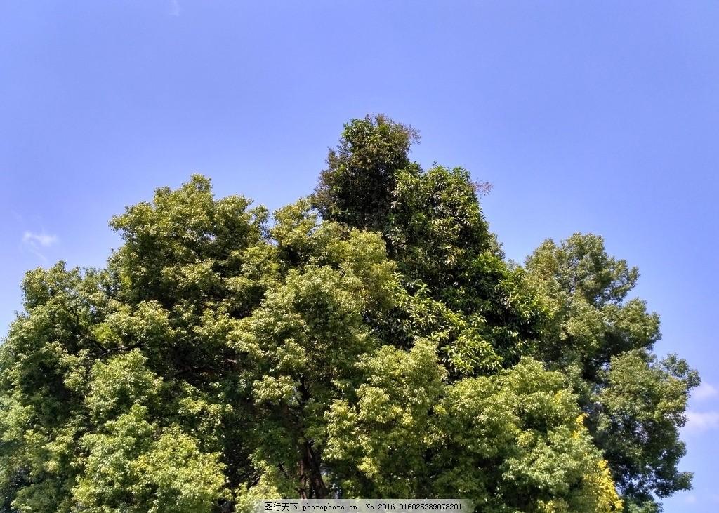 大树冠 树 树冠 大树 茂盛的大树 树林 树木 自然景观 摄影 生物世界