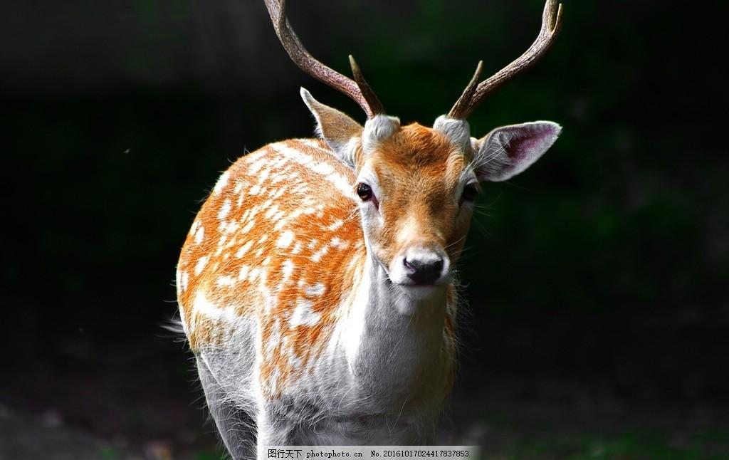 森林麋鹿 森林 麋鹿图片 野生动物 梅花鹿 可爱小鹿 生物世界 摄影
