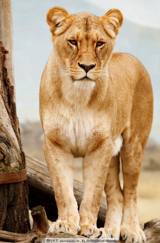 猛兽雌性狮子摄影 摄影图片 非洲动物 动物世界 野兽图片