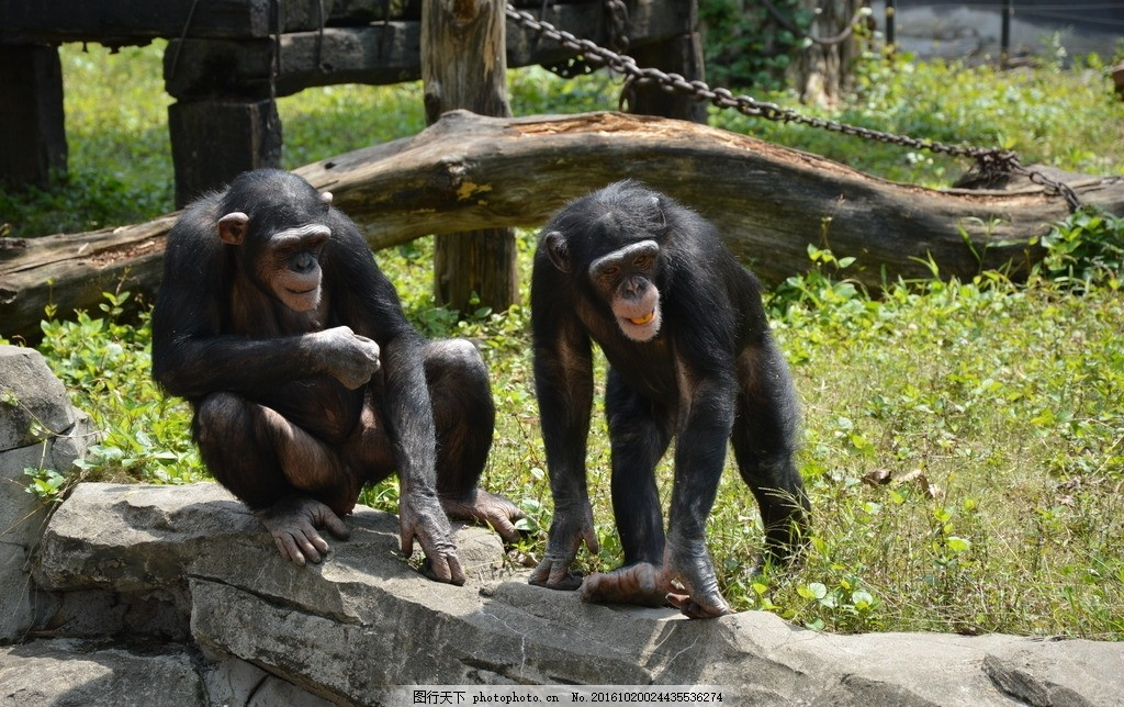 动物园2只猩猩猴子