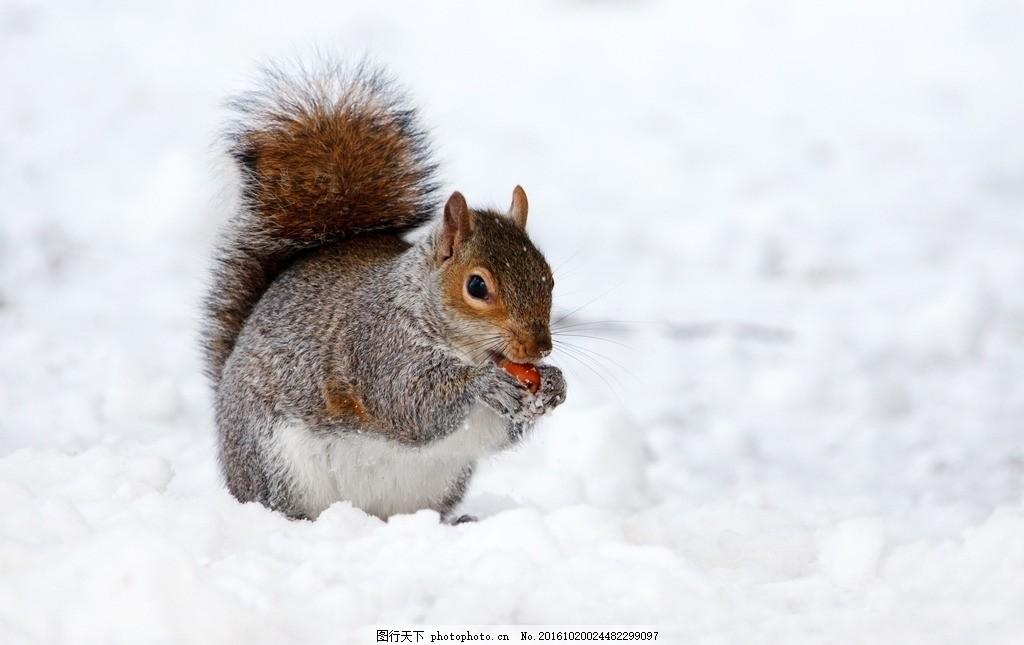 下雪 雪地 雪 大雪 大雪封山 食物 松鼠 动物 鼠类 灰褐色 野生动物