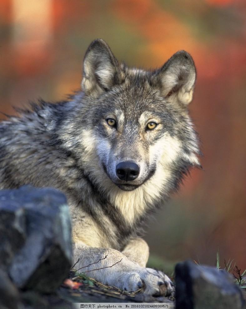 凶猛野兽 动物 野狼图片 凶猛对视 生物世界 摄影 生物世界 野生动物