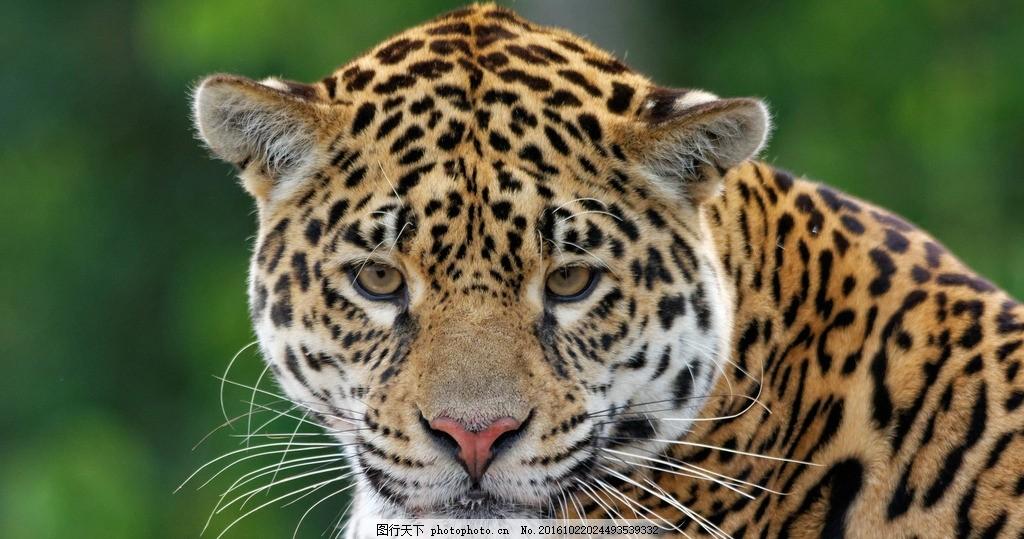 豹子 花豹 金钱豹 野生动物 动物 自然生物 摄影 生物世界 野生动物