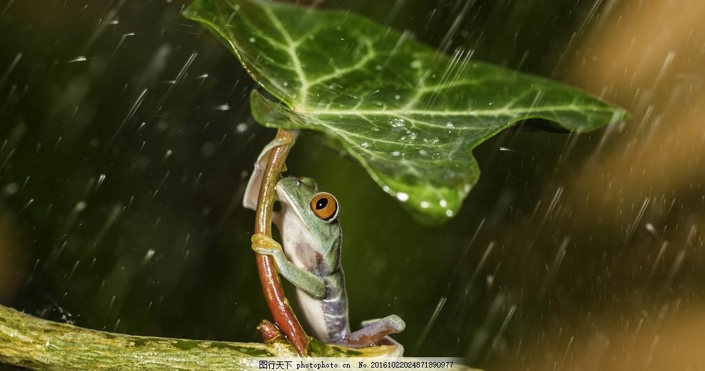 雨中的青蛙 下雨 户外 树枝 树叶 动物 摄影