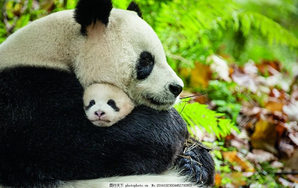 大熊猫 熊猫 母子 诞生在中国 四川 国宝 野生动物 保护区 纪录片 大