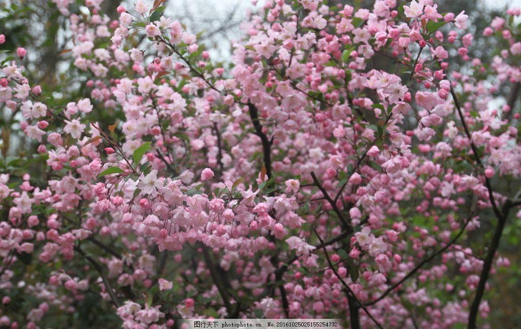 腊梅,腊梅树 寒梅 梅园 摄影-图行天下图库