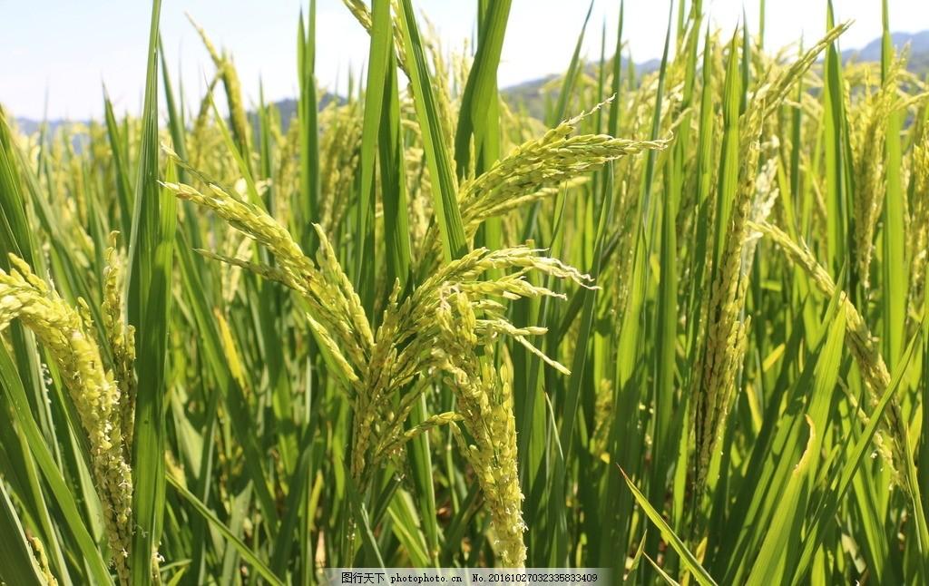 水稻 丰收 稻穗 稻谷 成熟 摄影 自然景观 田园风光 72dpi jpg