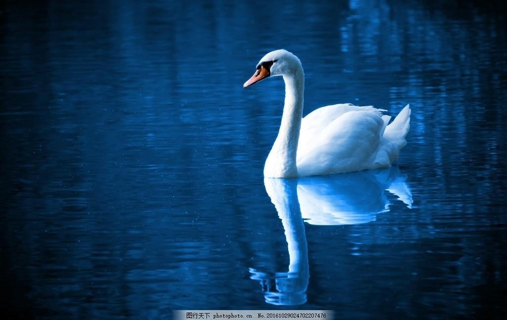 白天鹅 野生动物 飞鸟 河流 倒影 摄影 生物世界 鸟类 72dpi jpg