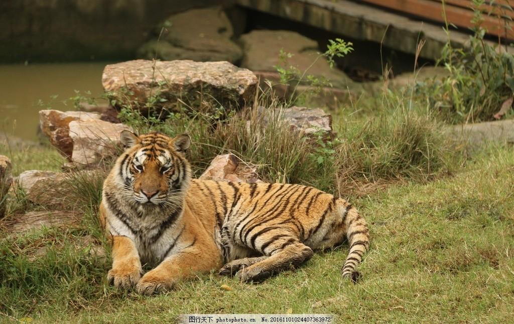 动物园东北虎 东北虎 老虎 野生动物 动物图片 动物园 无锡动物园
