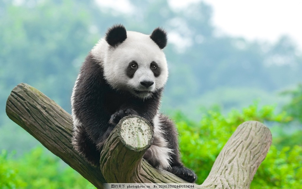 大熊猫 动物园 可爱 萌态 大树 树枝 爬树 动物 摄影 生物世界 野生