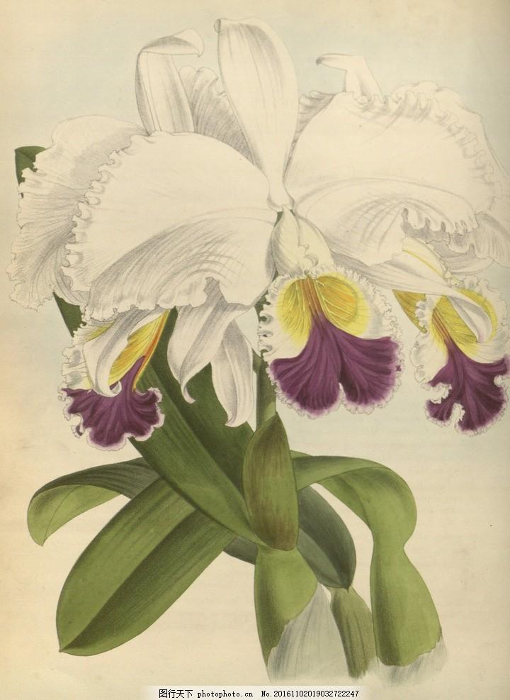 手绘兰花 复古 花卉 水彩 纸张 植物 绘画 写实 水粉