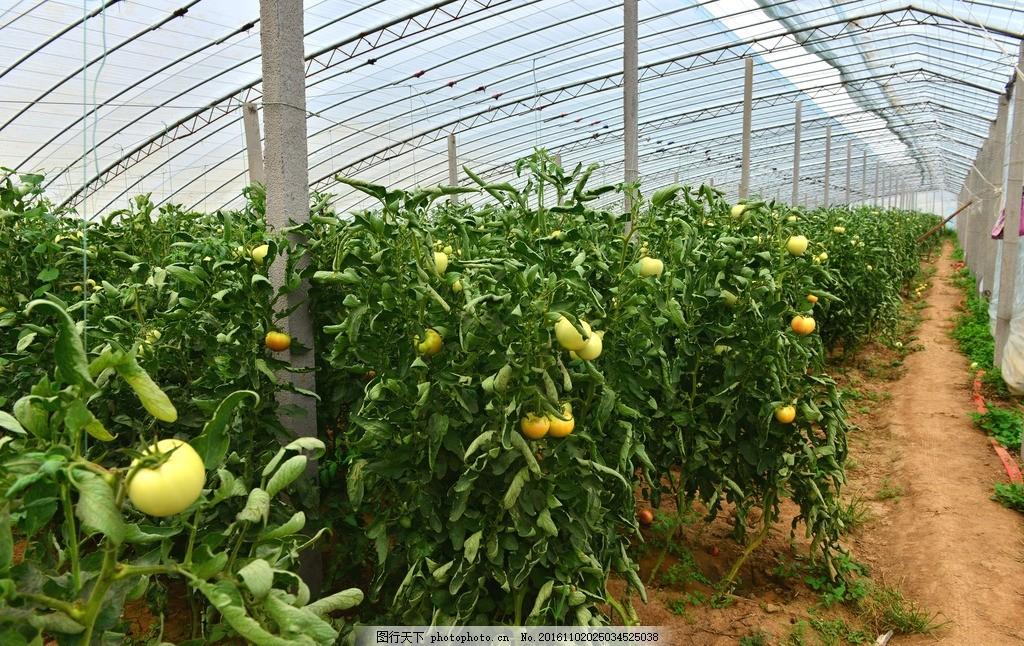 农业 有机蔬菜 安全食品 塑料大棚 番茄 食品安全 新农村 蔬菜种植