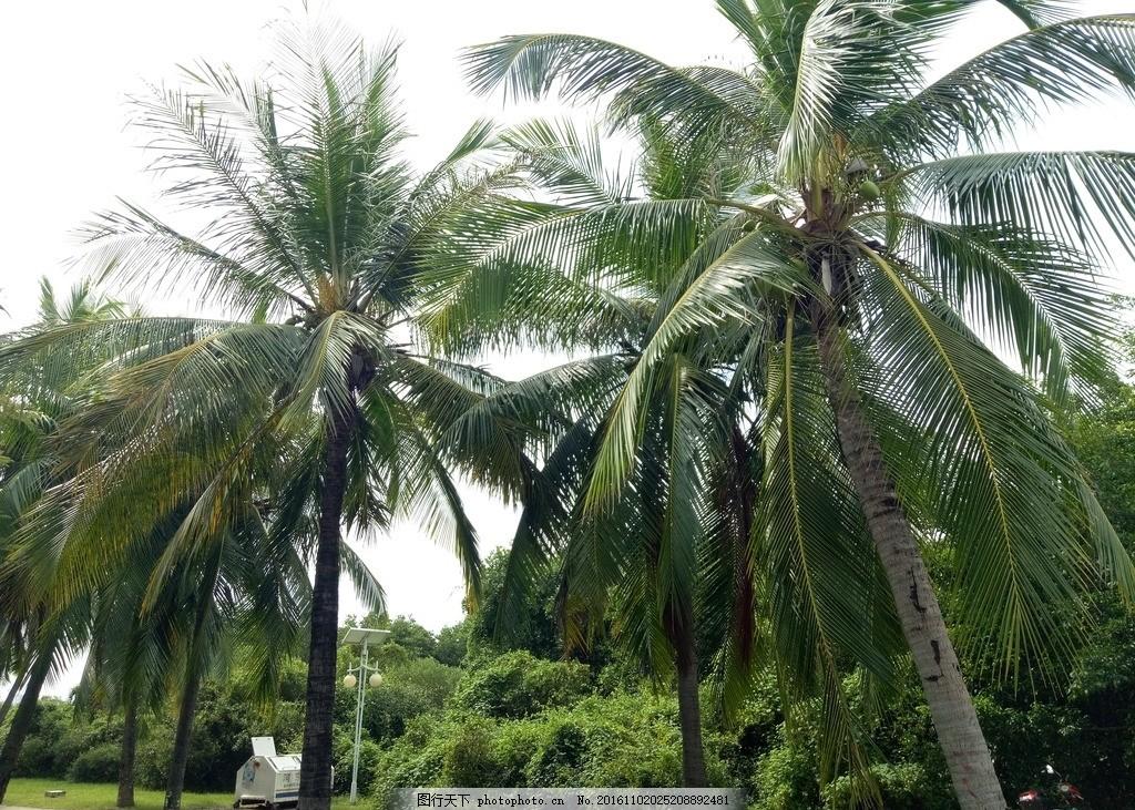 椰树摄影 热带树木 热带树 椰子 摄影图 摄影 生物世界 树木树叶 72