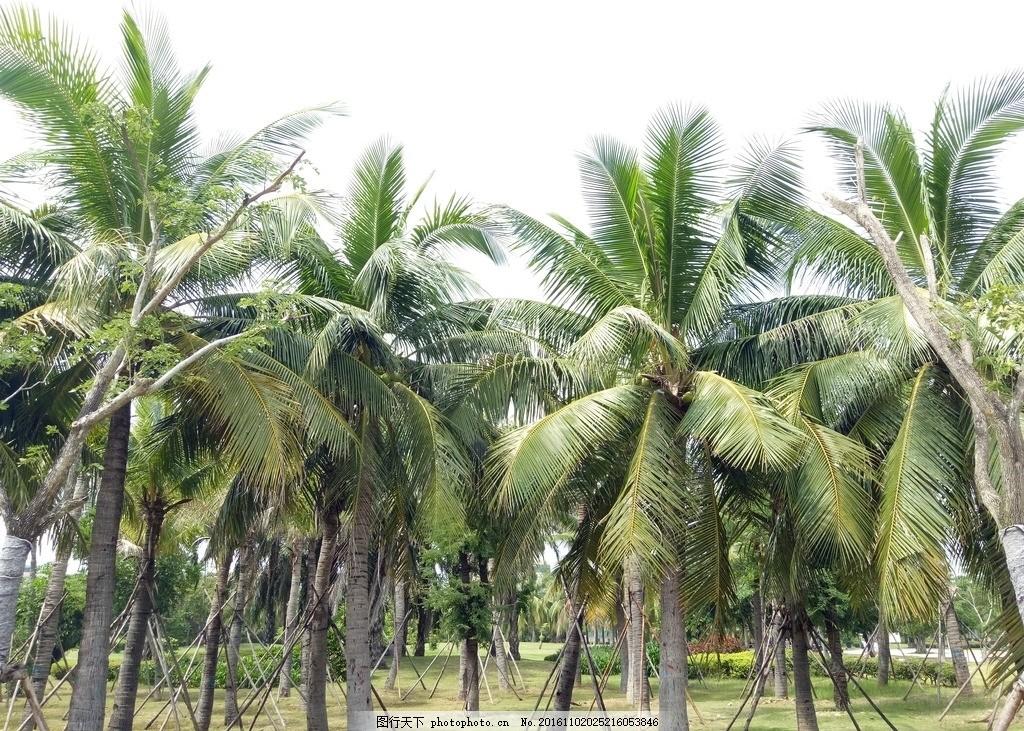 椰子树 椰树摄影 热带树木 热带树 摄影图 摄影 生物世界 树木树叶 72