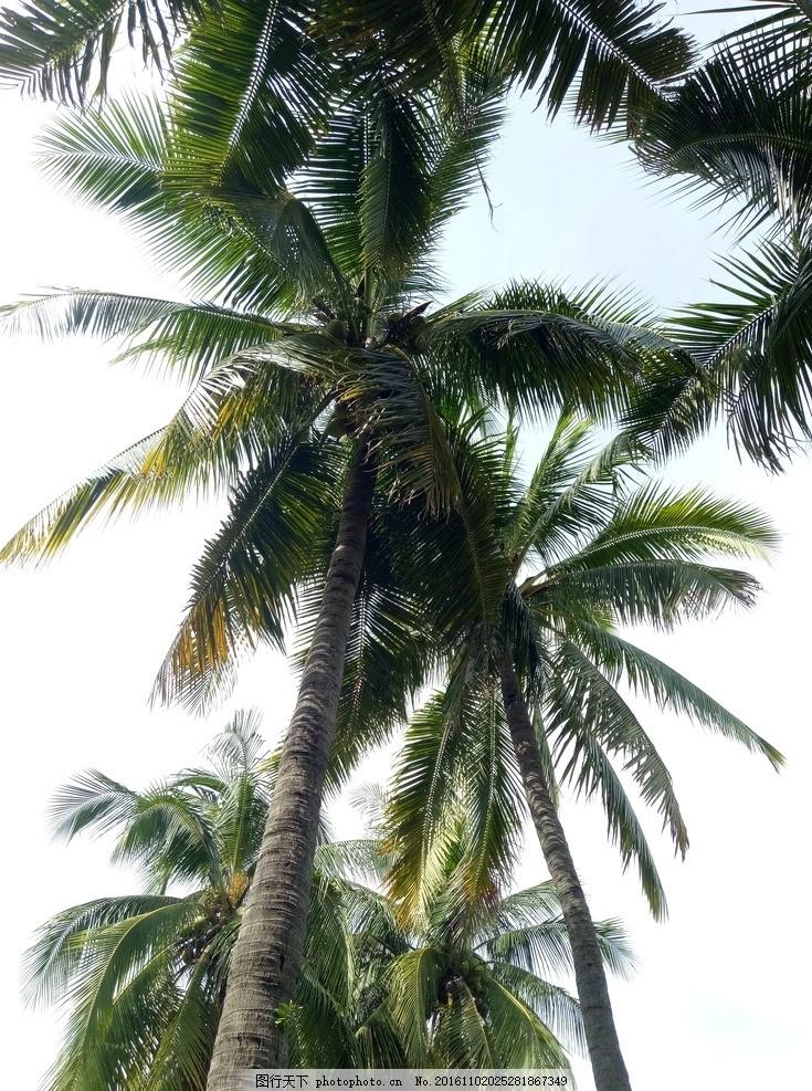 椰子树 椰子树林 椰树 椰树摄影 热带树木 摄影图