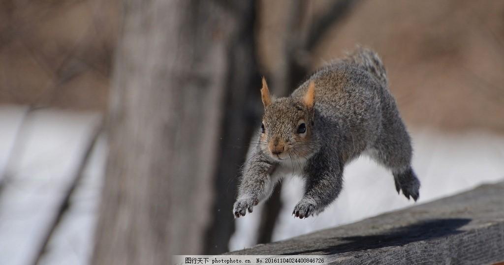 松鼠 跳跃 灰色 动物 奔跑 摄影