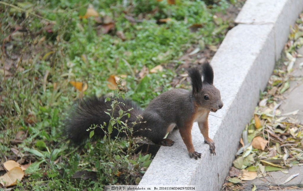 松鼠 小松鼠 可爱松鼠 东北松鼠 鼠类 鼠科 摄影 生物世界 野生动物