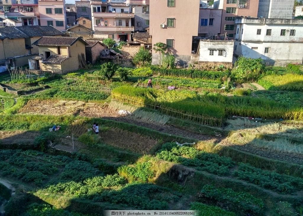 乡村田野 田野 田园 稻田 水稻 农田 成熟的水稻 成熟的稻田 自然景观