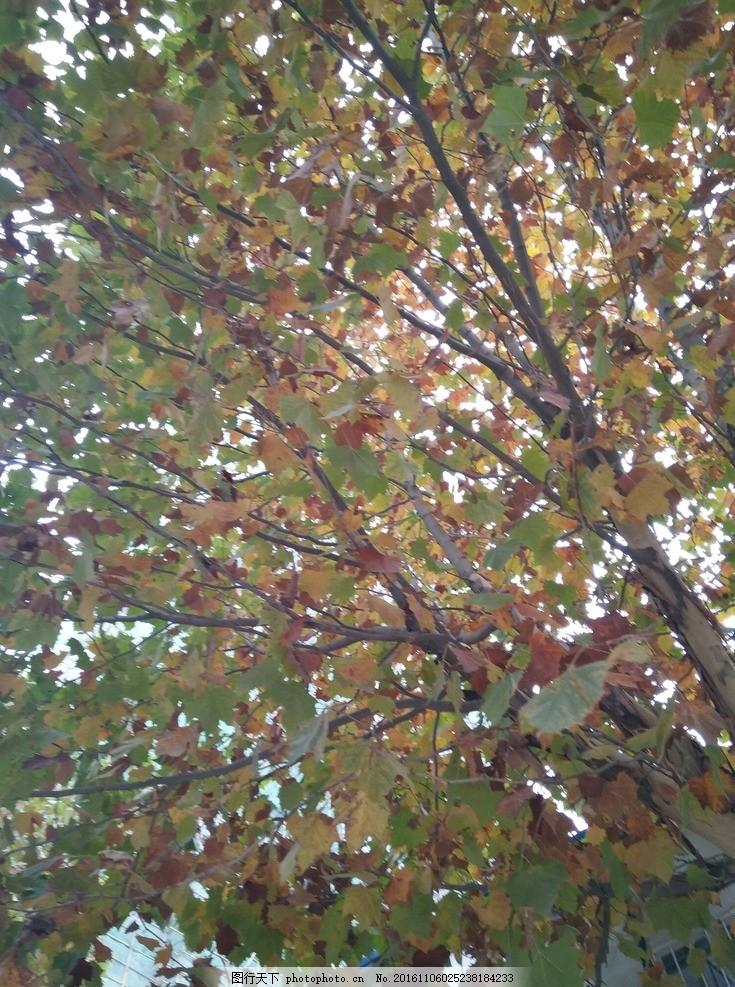 梧桐 梧桐树叶 初秋的梧桐 梧桐树 法国梧桐 摄影 生物世界 树木树叶