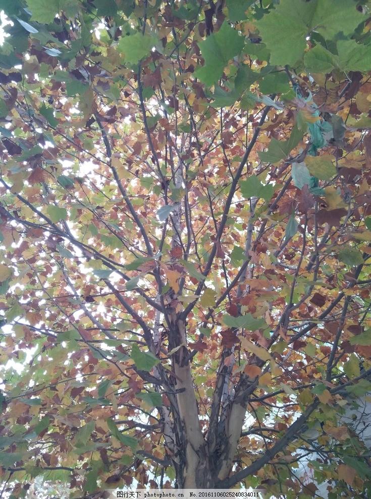 梧桐树 道路边的梧桐 初秋梧桐树 法国梧桐 树叶 摄影 生物世界 树木