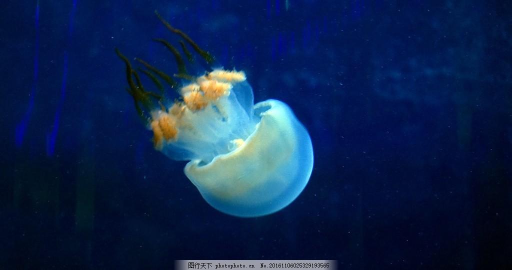 水母 海洋动物 生物 软体动物 海底动物 微距生物 摄影