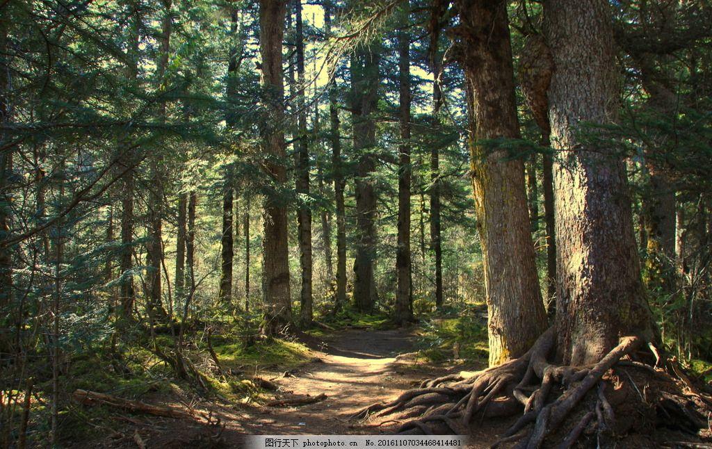 森林 川西 白马王朗 秋色 松 树 光影 摄影 自然景观 山水风景 72dpi