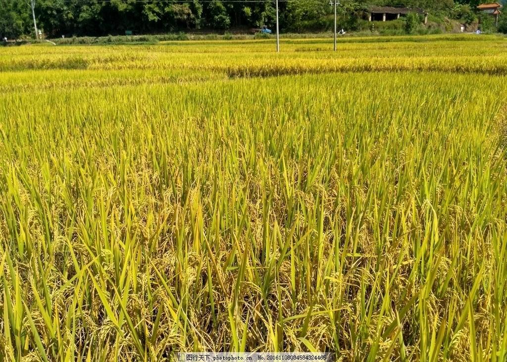 成熟的稻田 田野 田园 稻田 水稻 农田 乡村田野 成熟的水稻 成熟的
