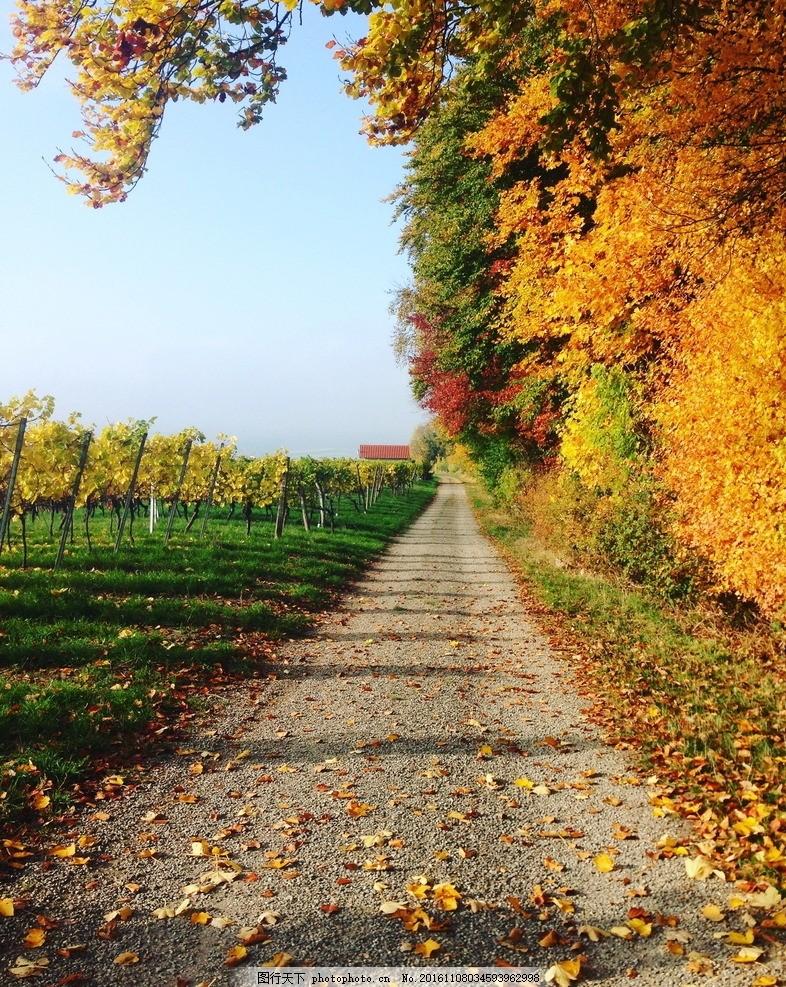 金秋葡萄园小径 金秋 秋季 秋天 葡萄园 葡萄架 小路 树木 树林 树叶