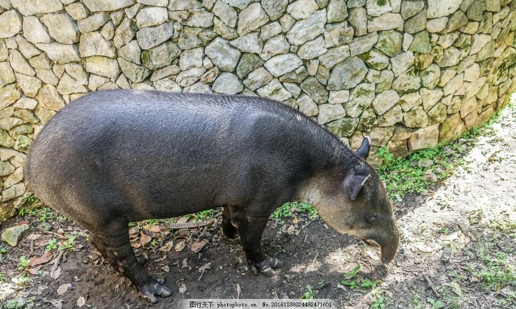 中美貘 拜氏貘 貘类动物 五不像 食草动物 濒危 保护动物 哺乳动物