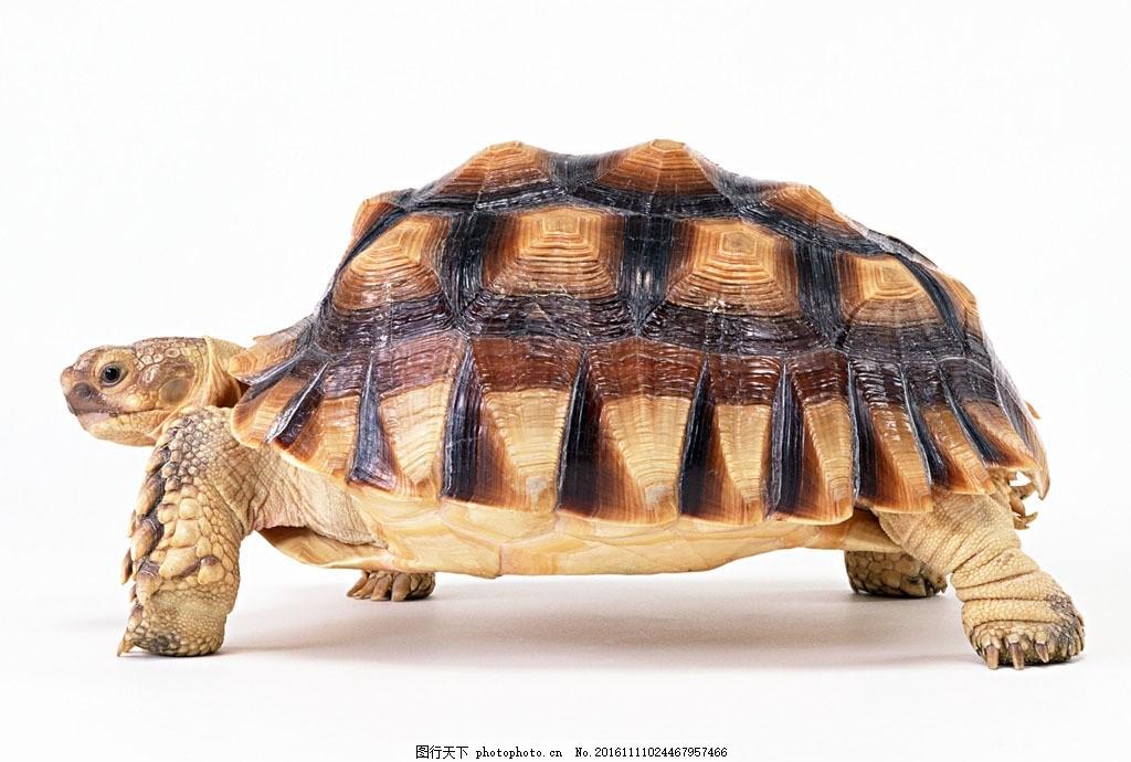 乌龟 陆龟 香龟 尼日尔香龟 稚龟 摄影 生物世界 野生动物 350dpi jpg