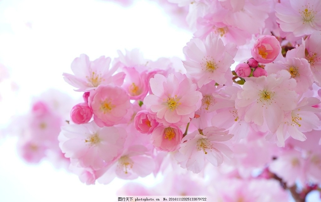 美丽的日本樱花 樱花 花朵 花卉 粉色 小花 日本 国花 漂亮 美丽 唯美