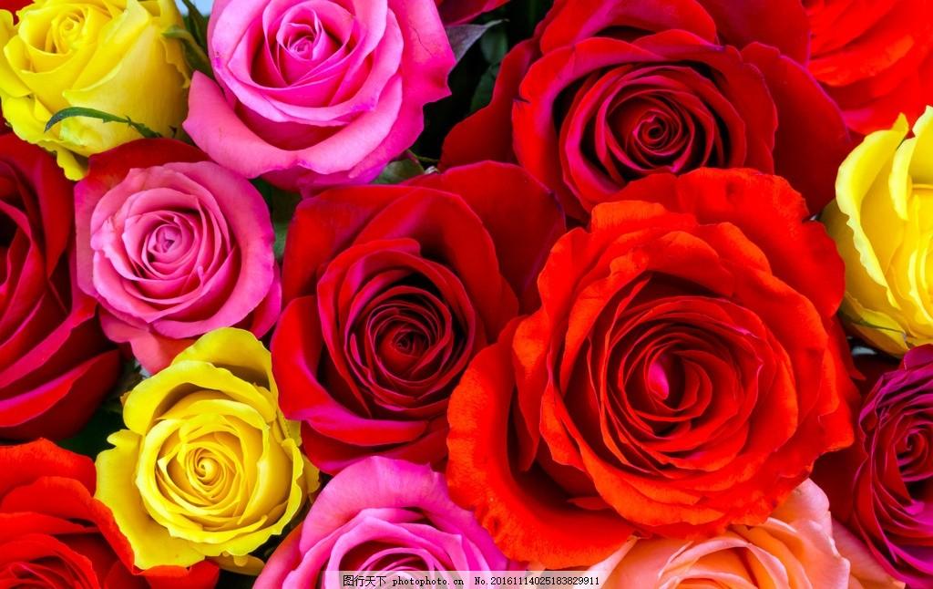 玫瑰 唯美 植物 自然 鲜花 花朵 花卉 玫瑰花 浪漫玫瑰 摄影图片