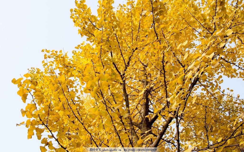 秋天 银杏树 威海 摄影 壁纸 生物世界 树木树叶 风景 摄影 生物世界