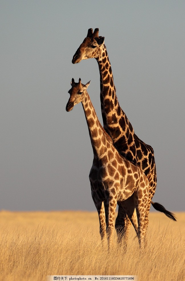 动物 野性 动物园 非洲草原 猛兽 野兽 凶猛 哺乳动物 长颈鹿 动物