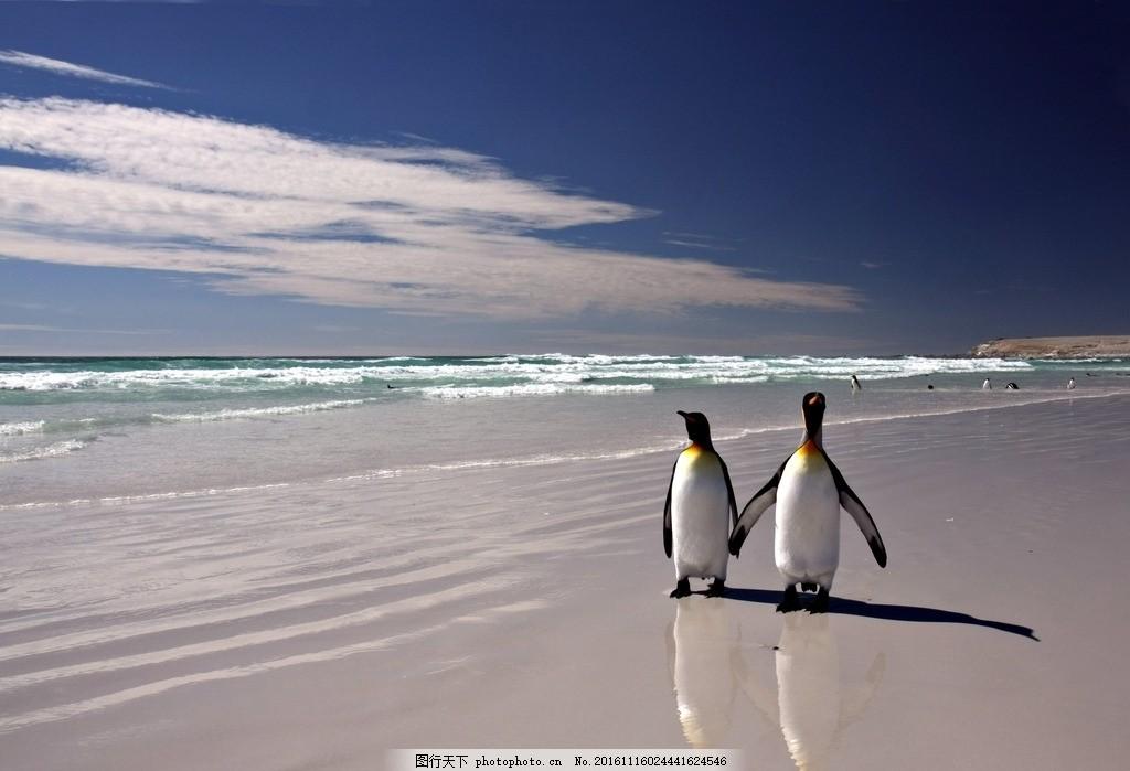 企鹅 动物 野生 野性 沙滩 海边 摄影
