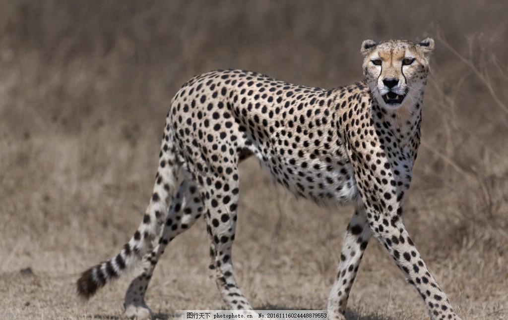 豹子 动物 野性 动物园 非洲草原 猛兽 野兽 凶猛 哺乳动物
