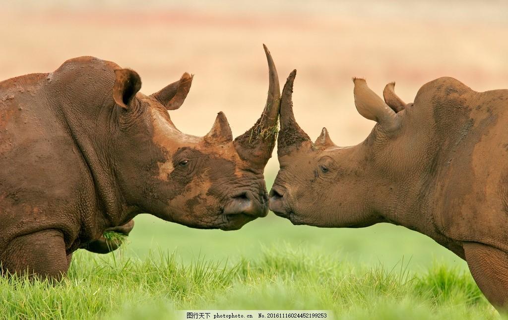 犀牛 动物 野生 野性 非洲草原 摄影