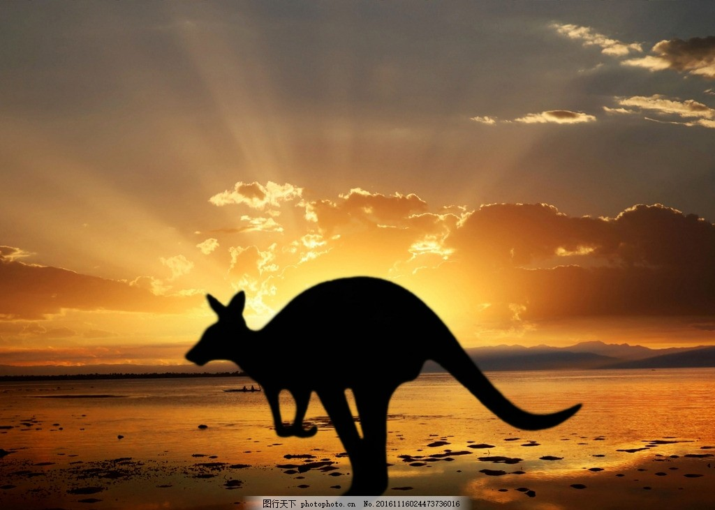 动物 野生 野性 澳大利亚 袋鼠 海边 黄昏 晚霞 傍晚 动物 摄影 生物