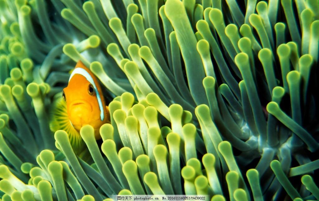 小丑鱼 动物 海底世界 野生 生态 摄影